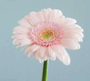single pink flower close up