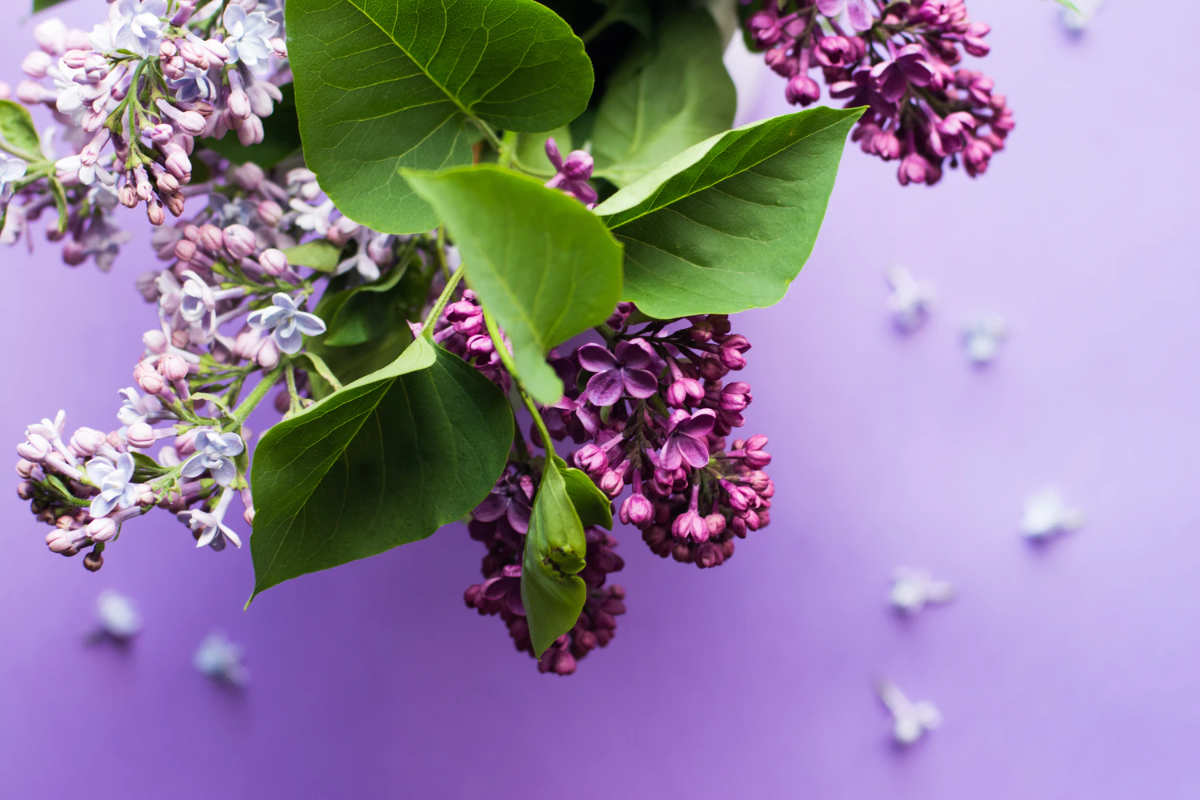 lilac on purple table