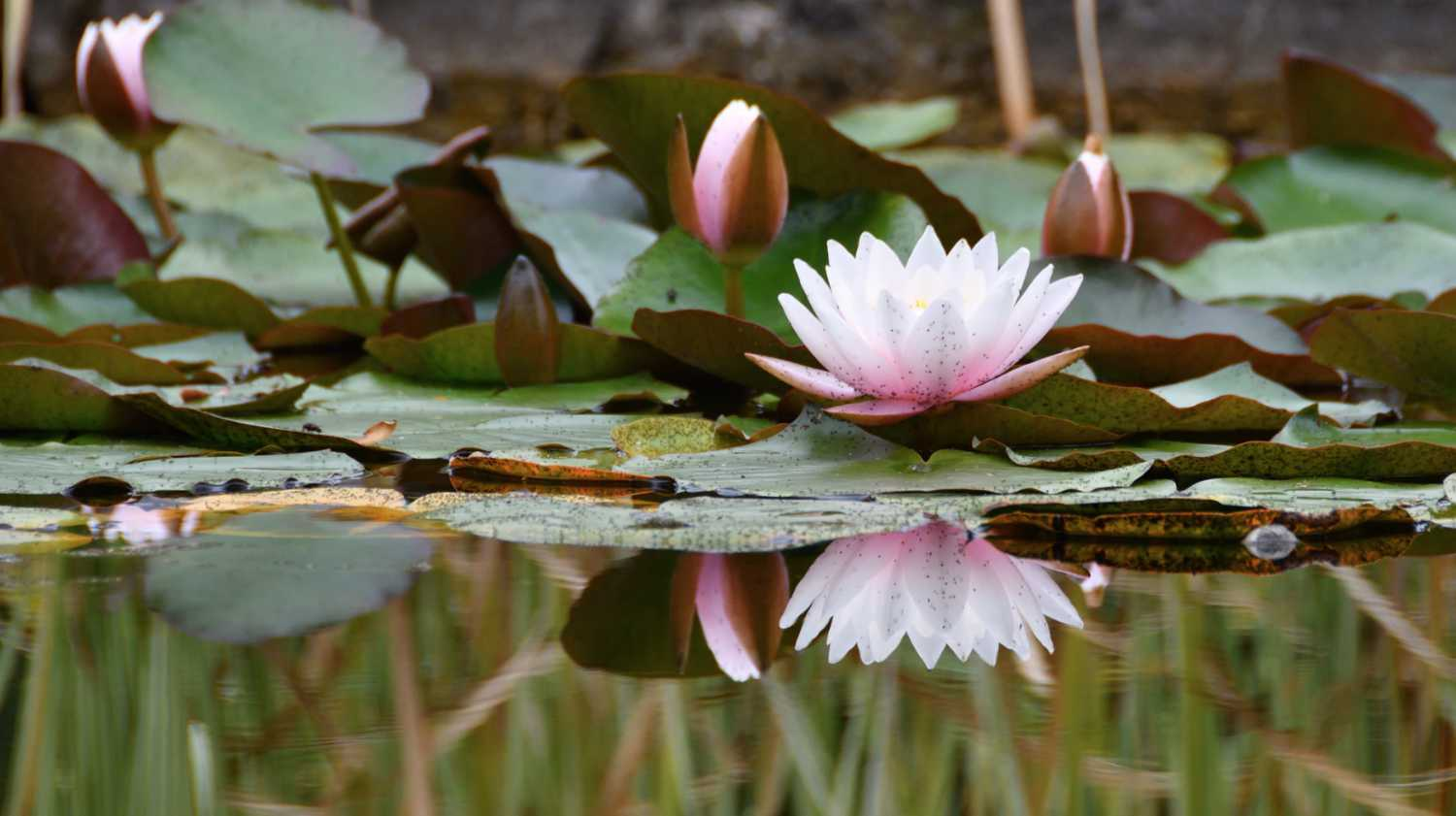 lotus flower floating in a pond