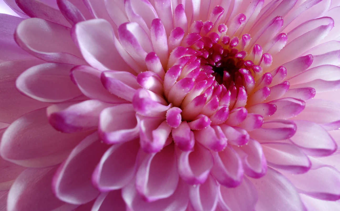 extreme closeup of a pink flower