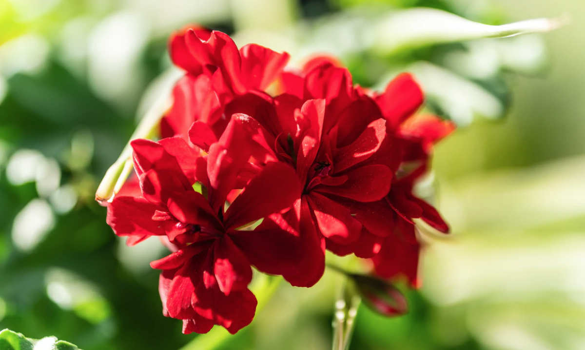 closeup of a red flower